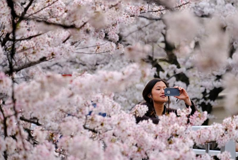 As spring approaches in Japan, the country's weather forecasters face one of their biggest missions of the year: predicting exactly when the famed cherry blossoms will bloom (AFP Photo/Kazuhiro NOGI, Kazuhiro NOGI)