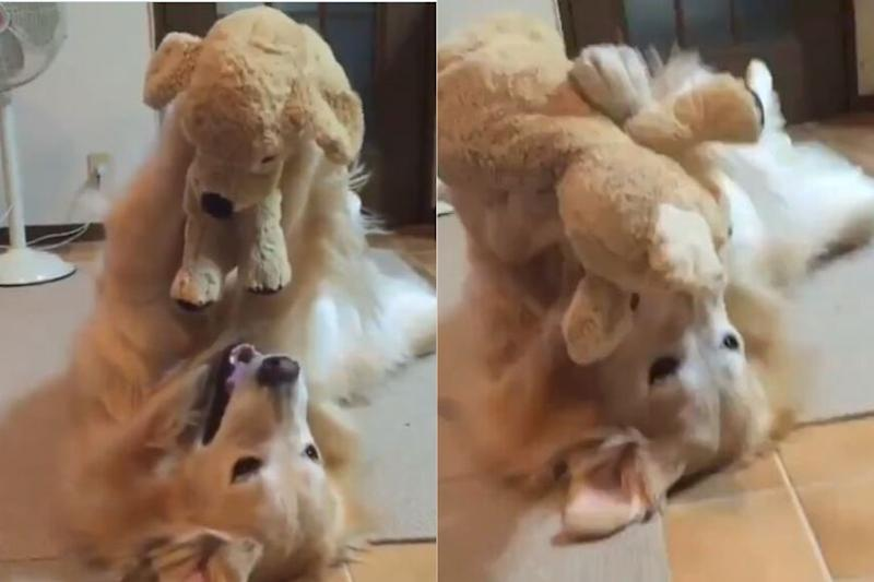 Watch: Golden Retriever Playing with Its Stuffed Toy is Winning Hearts