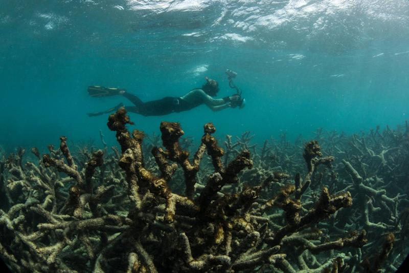 A snorkeler swims over a dead coral reef in May 2016 after a bleaching event. (XL CATLIN SEAVIEW SURVEY)