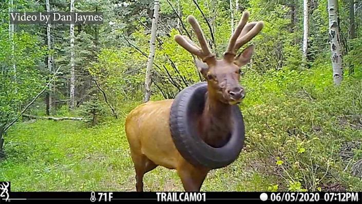 elk freed from tire around neck