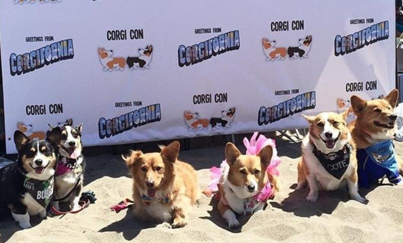 An actual Corgi Con just happened, NBD