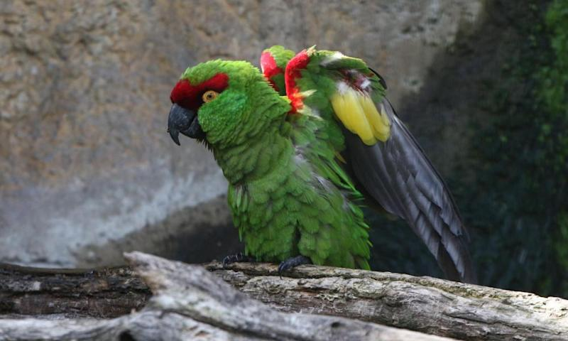 A Mexican Thick billed parrot.