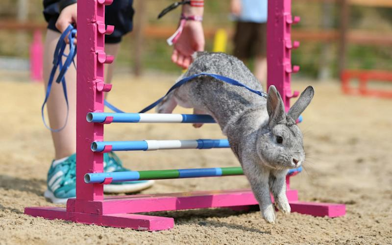 A rabbit leaps its way through an obstacle course - www.alamy.com