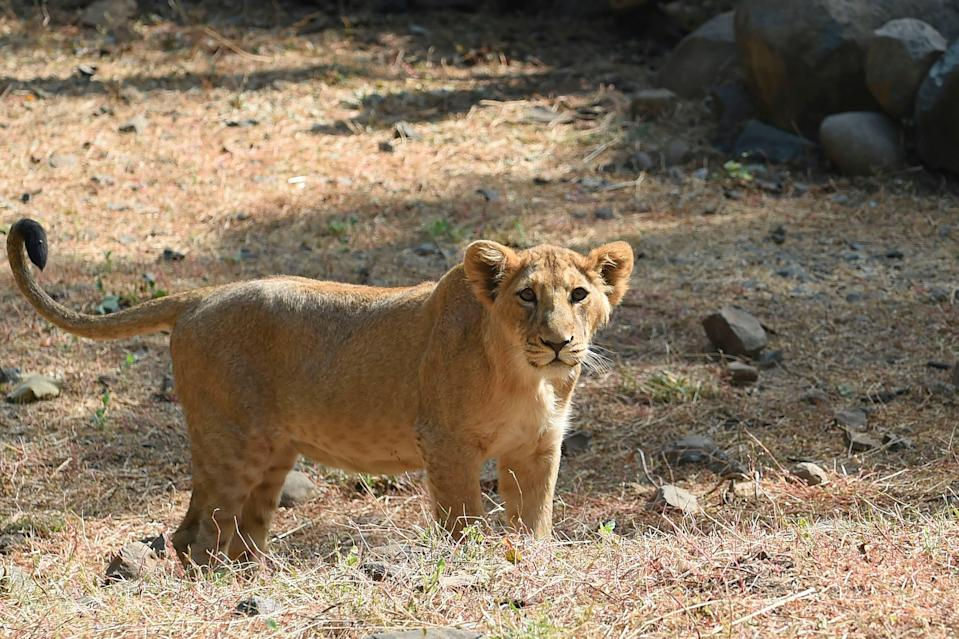 <p>File: Picture taken on 7 January, 2021 shows a lion inside an enclosure at the Sakkarbaug Zoological Garden, Ahmedabad</p> (AFP via Getty Images)