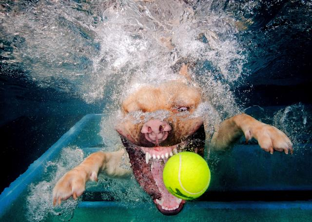 <p>A golden Labrador fiercely bares his teeth as he goes for the ball. (Photo: Jonny Simpson-Lee/Caters News) </p>