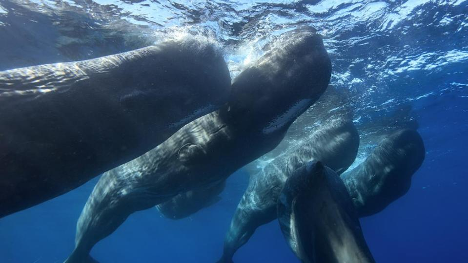 A team of researchers at Project CETI is using AI, drones, and robot fish to decipher the way sperm whales communicate.