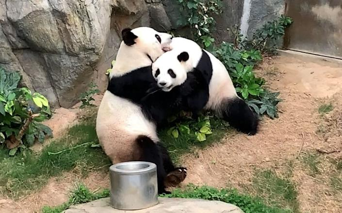 Ying Ying and Le Le are seen embracing in an enclosure free from prying eyes and cameras. - AFP