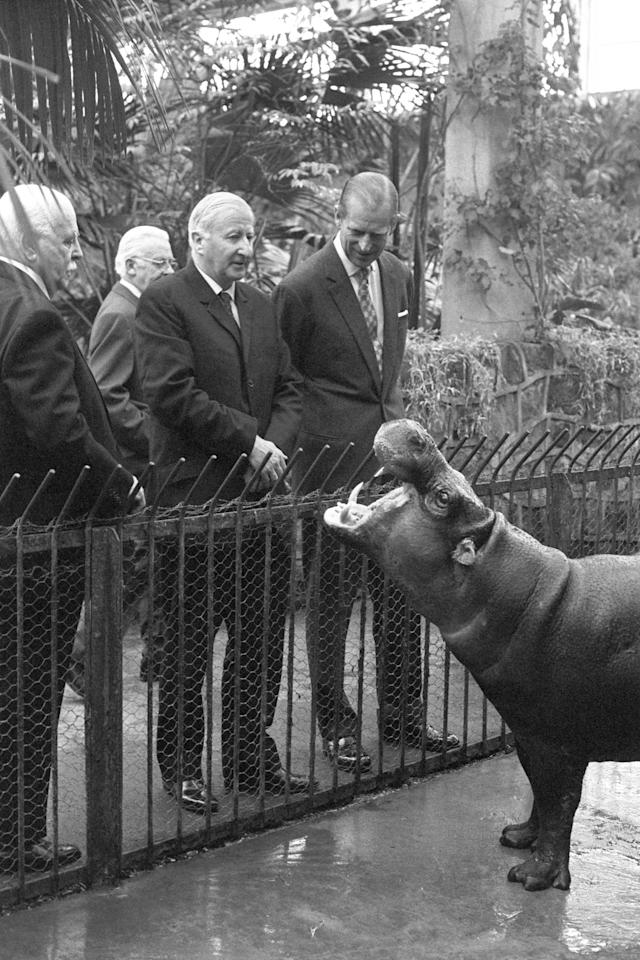 <p>Prince Philip is seen here during his visit to Chester Zoo today, where a pygmy hippo, raising it's head, obligingly opens it's jaws wide, as though for inspection. </p>