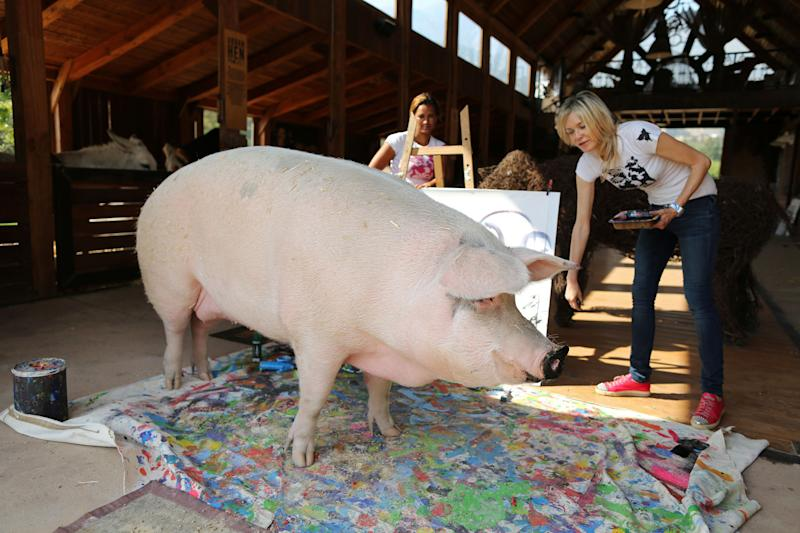 Pigcasso, a rescued pig, stands in front of the canvas she painted at the Farm Sanctuary in Franschhoek, outside Cape Town, South Africa. (Photo: Sumaya Hisham/Reuters)