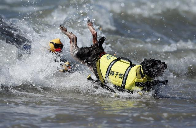 A dog wipes out while competing in the Surf City surf dog competition in Huntington Beach, California, September 29, 2013. REUTERS/Lucy Nicholson (UNITED STATES - Tags: SPORT ANIMALS SOCIETY)