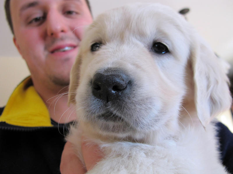 In this Feb. 1, 2013 photo, trainer Jake Guell holds an English golden retriever puppy in Fond du Lac, Wis. Guell will train her to become a therapy dog for a teenager who was severely injured in a fall from a Wisconsin amusement park ride in 2010. Actor Charlie Sheen says he's donating $10,000 for the dog's training and other expenses. (AP Photo/Carrie Antlfinger)