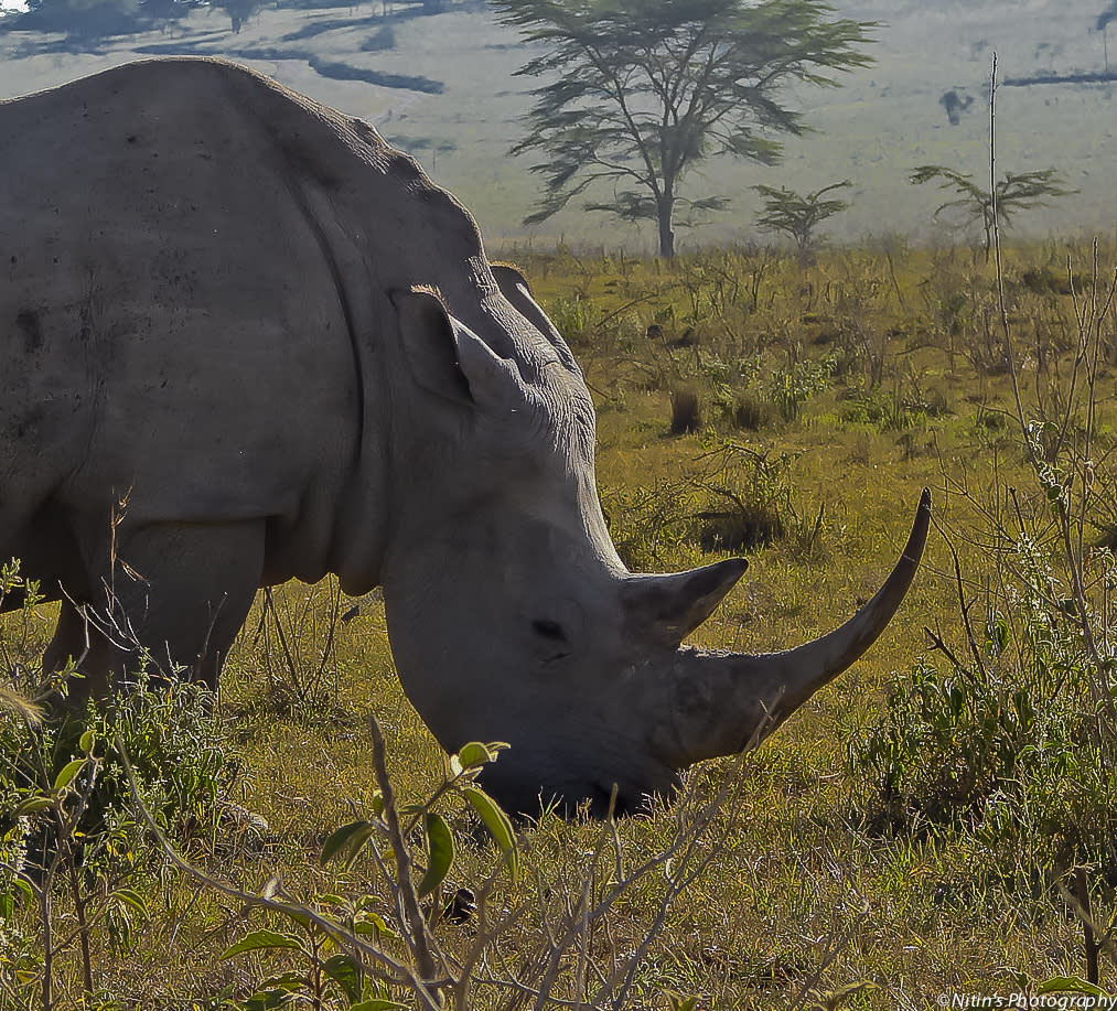 A White Rhinoceros, also known as Square-lipped Rhinoceros, in Lake Nakuru National Park. Poached for their horns, which are believed to have aphrodisiac properties, these animals have nearly been hunted to extinction. They are now protected in Kenya and some other African countries.