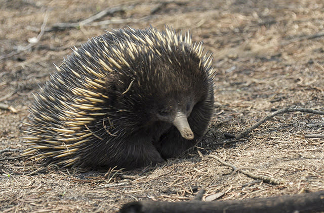 A close up of an echidna walking in the fire zone.