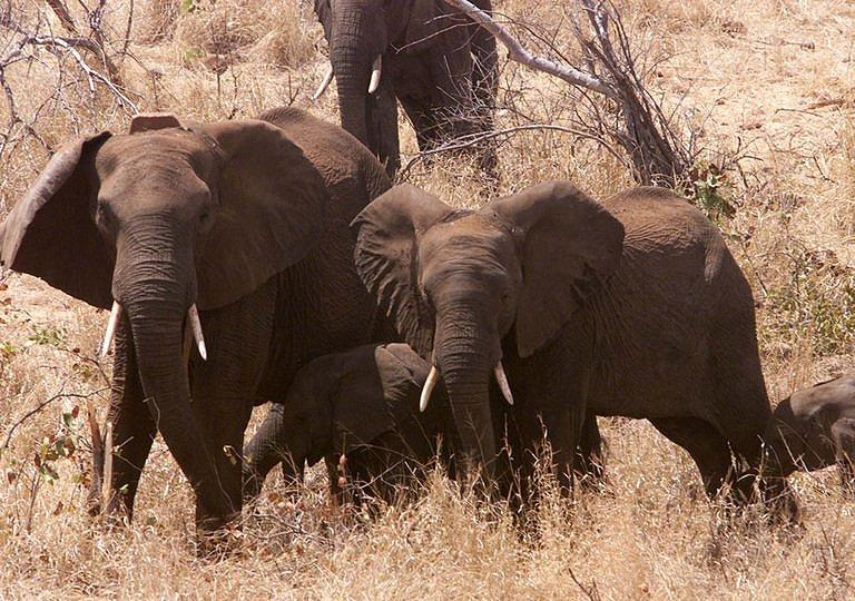Elephants were among the 90 percent of large herbivores in Mozambique's Gorongosa National Park that died during conflict