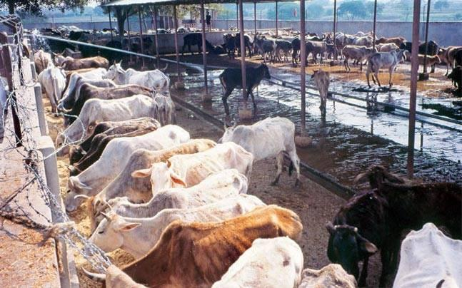 'Deep and wide' cattle smuggling nexus at the India-Bangladesh border
