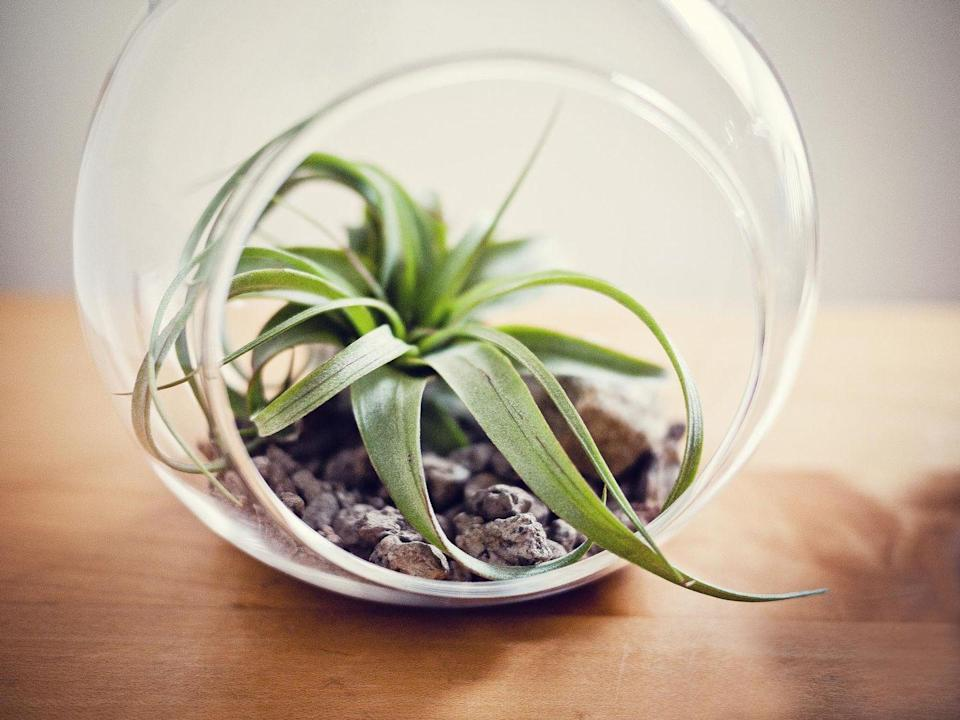 """<p><a class=""""link rapid-noclick-resp"""" href=""""https://www.amazon.com/Air-Plants-Throughout-Tillandsia-Book/dp/B00817FHIO/?tag=syn-yahoo-20&ascsubtag=%5Bartid%7C10057.g.3716%5Bsrc%7Cyahoo-us"""" rel=""""nofollow noopener"""" target=""""_blank"""" data-ylk=""""slk:BUY NOW"""">BUY NOW</a> <strong><em>$14 for 5, amazon.com</em></strong></p><p>These spidery guys don't even need soil to survive. All you have to do to water them is dunk them in water for two or three hours every 10 days—a perfect activity while you labor the afternoon away crunching numbers. </p>"""