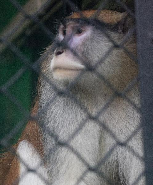 A Patas monkey looks out of his cage at Zoo Boise after his cage mate was severely injured and died in Boise, Idaho on Saturday, Nov. 17, 2012. Police are investing an early monring break-in at at the zoo. The injured monkey was found shortly after suspects were spotted and ran off. (AP Photo/The Idaho Statesman, Katherine Jones)