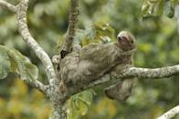 """<p>According to National Geographic, the three-toed sloth <a href=""""https://kids.nationalgeographic.com/explore/5-reasons-why-hub/5-reasons-sloths-are-spectacular/"""" rel=""""nofollow noopener"""" target=""""_blank"""" data-ylk=""""slk:has one or two extra vertebrae in their necks"""" class=""""link rapid-noclick-resp"""">has one or two extra vertebrae in their necks</a>. This means that they can turn their head 270 degree! In other words, expect some over-the-shoulder side-eye if you disturb nap time. <br></p>"""