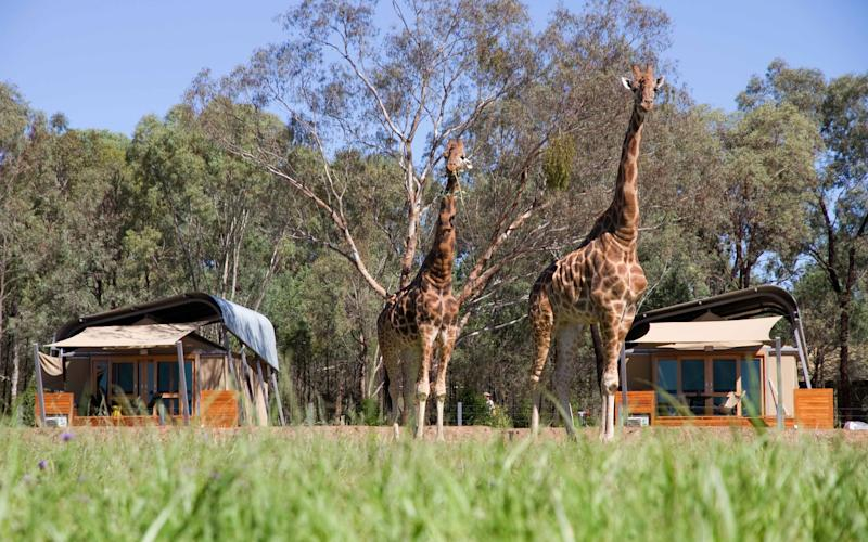 Highlights at Zoofari Lodge include feeding the giraffes and getting close to the lions