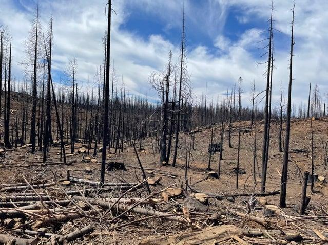 Dead trees in the Plumas National Forest following the devastating wildfires which struck in Butte County, California last year (Louise Boyle/The Independent)