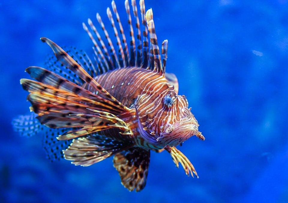 """<span class=""""caption"""">Lionfish are now invading the western Atlantic Ocean, from North Carolina to Brazil. </span> <span class=""""attribution""""><span class=""""source"""">(Shutterstock)</span></span>"""