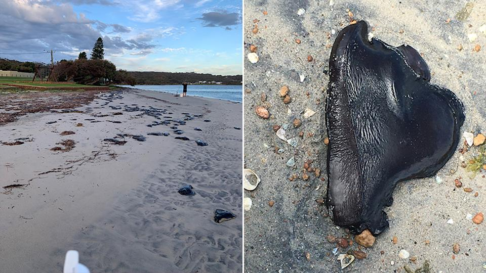 Sea hares have been washing up along Western Australia's Augusta coast daily for weeks. Source: Supplied/Shire of Augusta Margaret River