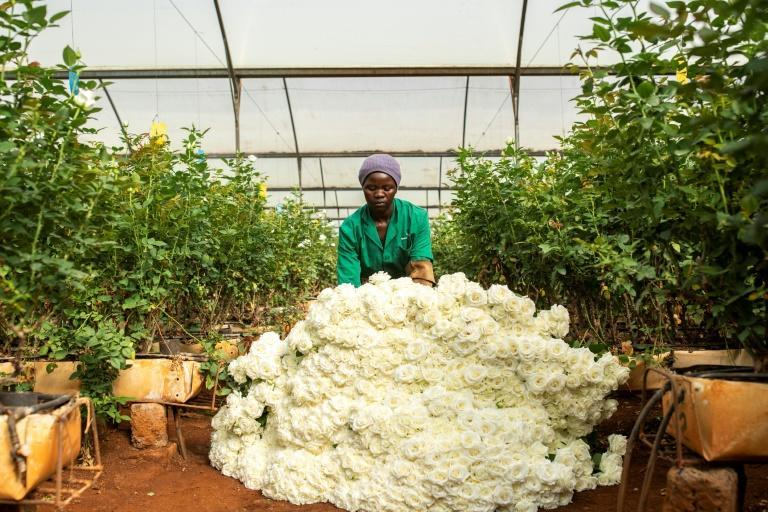 Millions of flowers are being dumped in Kenya -- the market for cut blooms in Europe and the Middle East has been wrecked by the pandemic