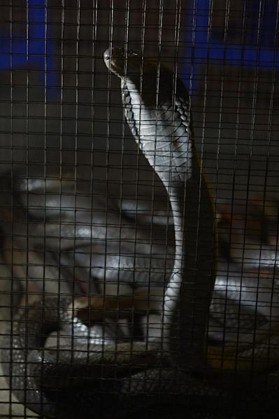Demand from China means rare animals are being smuggled in from across South East Asia, shown here is a cobra on sale in Jakarta on September 11, 2013 (AFP Photo/Adek Berry)
