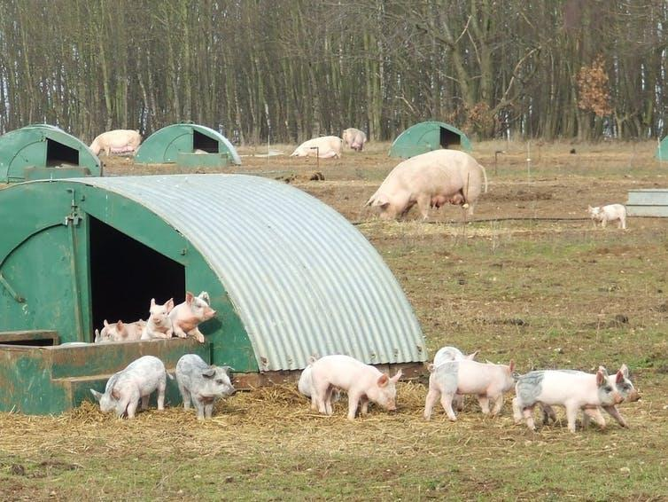 Young pigs play on a farm