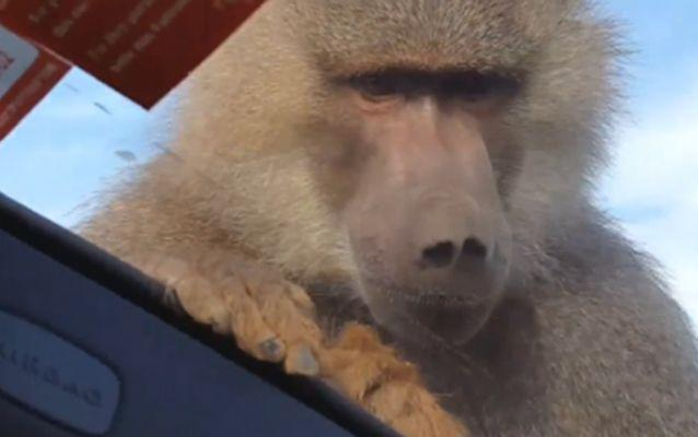 The up-close encounter took an unexpected turn when the primate decided to show his dominance and mark its territory. Source: LiveLeak.