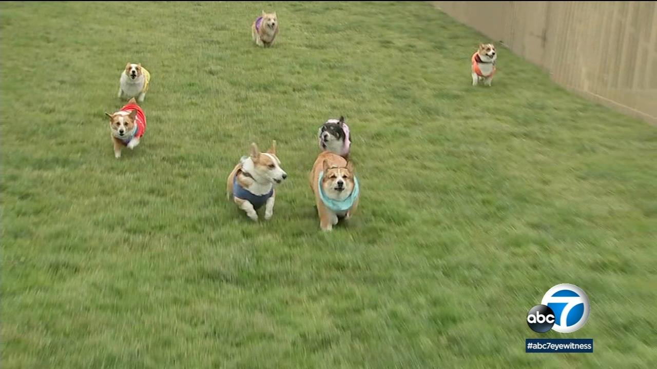 Adorable corgis and their owners gathered at Santa Anita Park on Sunday for the second annual Corgi Nationals.