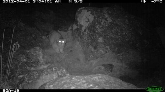 The Pallas's cat, photographed this year in Bhutan's Wangchuck Centennial Park, had never before been documented in the region.