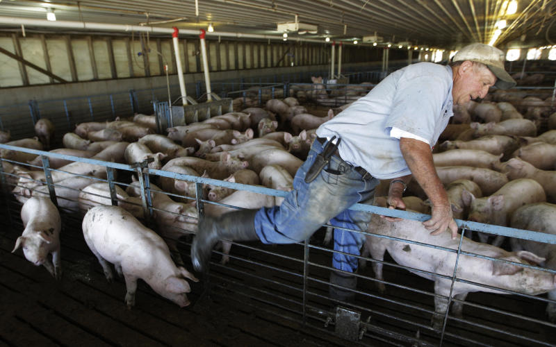 In this June, 27, 2012 photo, hog farmer Robert Young checks the well-being of his livestock on his family farm in Buckhart, Ill. Four years after the U.S. Government Accountability Office raised concerns and 40 years after the Clean Water Act gave the EPA the authority to protect the nation's waterways, the agency still doesn't know the location of many livestock farms, let alone how much manure they generate or how the waste is handled, because most of that information is kept by various state and or local agencies _ or not collected at all. (AP Photo/M. Spencer Green)