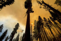 A helicopter drops water on the Windy Fire burning in the Trail of 100 Giants grove of Sequoia National Forest, Calif., on Sunday, Sept. 19, 2021. (AP Photo/Noah Berger)