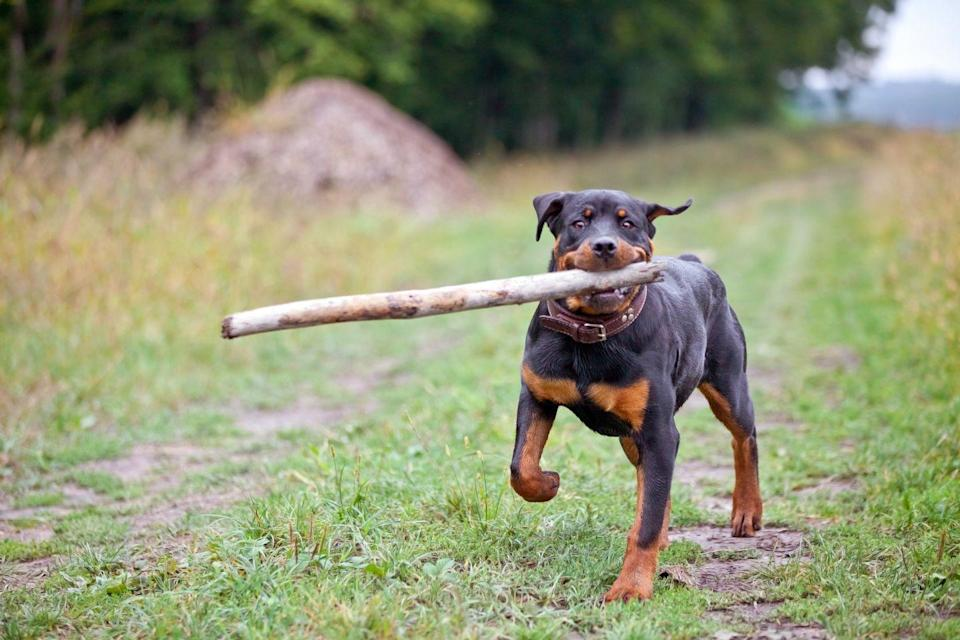<p>Rottweilers are known to be a bit aggressive with people they don't know. That standoffish attitude is sure to keep strangers away, if their strong stature isn't intimidating enough! </p>