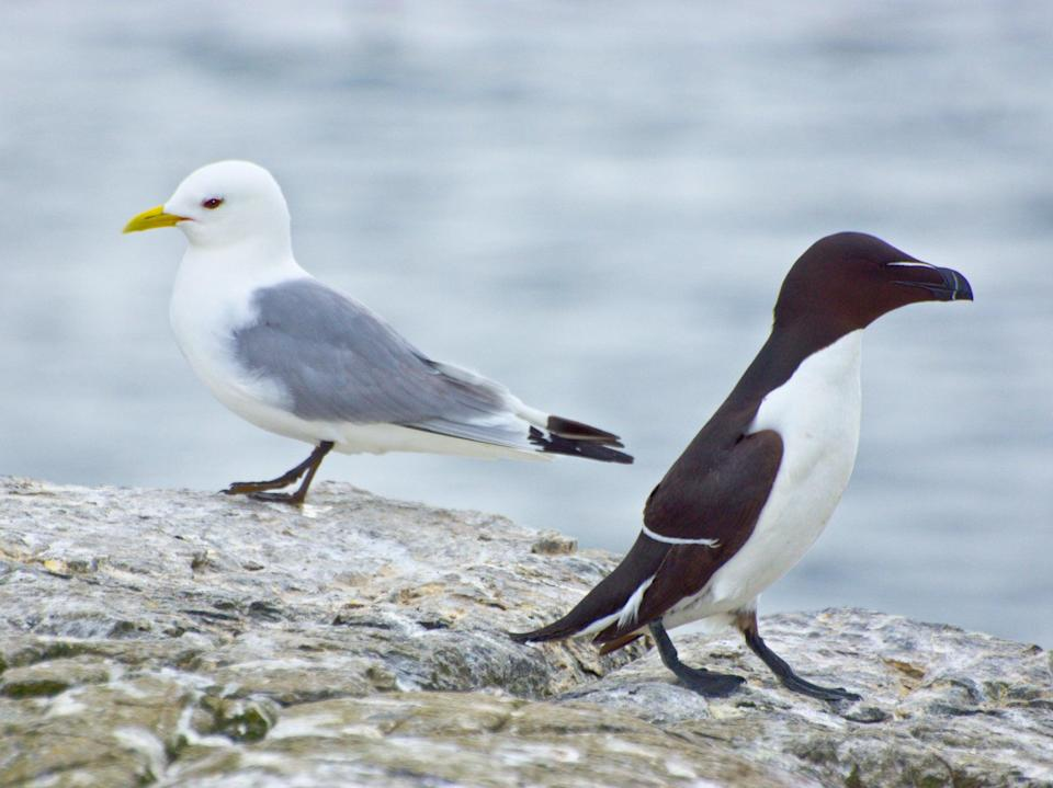 A kittwake and a razorbill. Kittwake numbers in the UK have fallen by more than three quarters in just 30 years (Getty)