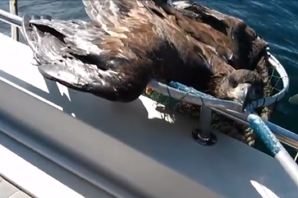 Fisherman rescues bald eagle from water in Canada