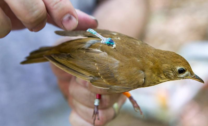 A geolocator rests on the back of a veery caught in White Clay Creek State Park on Monday morning.