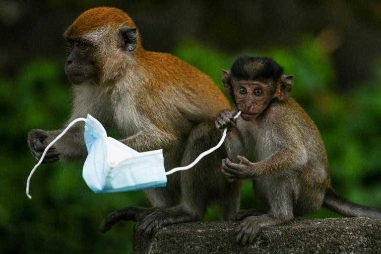 Face masks are proving a deadly hazard for wildlife -- a chocking hazard for diminutive macaque monkeys, for example