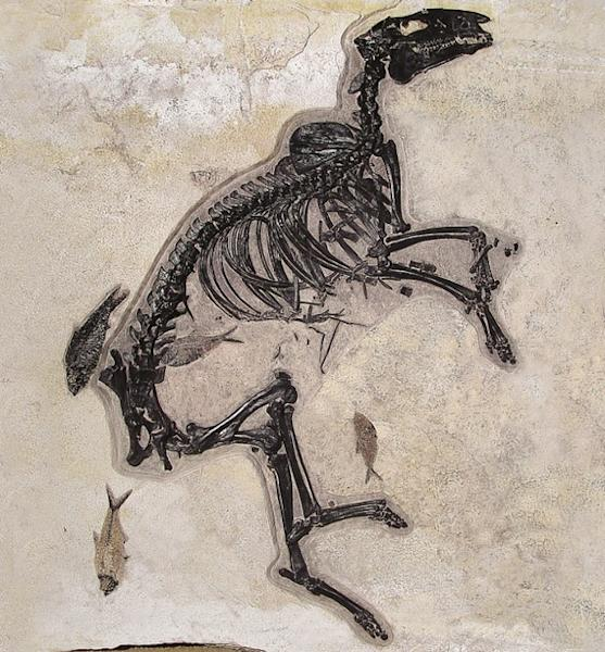 This is the most complete skeleton of a so-called dawn horse ever discovered. This specimen of Protorohippus venticolus was much more diminutive than today's horses, standing less than two feet high at the shoulder, but its long back legs sugge