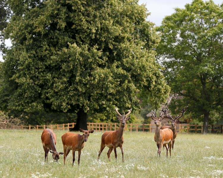 Deer graze at the Rooksnest estate near Lambourn, England, Tuesday, Aug. 6, 2019. The manor is the domain of Theresa Sackler, widow of one of Purdue Pharma's founders and, until 2018, a member of the company's board of directors. The Associated Press' review of court papers, securities filings by companies that have had dealings with Purdue, and documents leaked from an exclusive Bermuda law firm, show how family members have worked to cloak their wealth. (AP Photo/Frank Augstein)