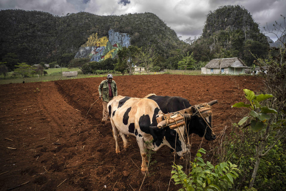 A farmer plows a field with oxen to plant yucca near the mountains in Viñales, Cuba, March 1, 2021. Both U.S. sanctions meant to punish the government and a COVID-19 pandemic have squashed tourism almost everywhere, making some Cubans hope that new U.S. President Joe Biden will reverse at least some of the restrictions implemented by his predecessor. (AP Photo/Ramon Espinosa)