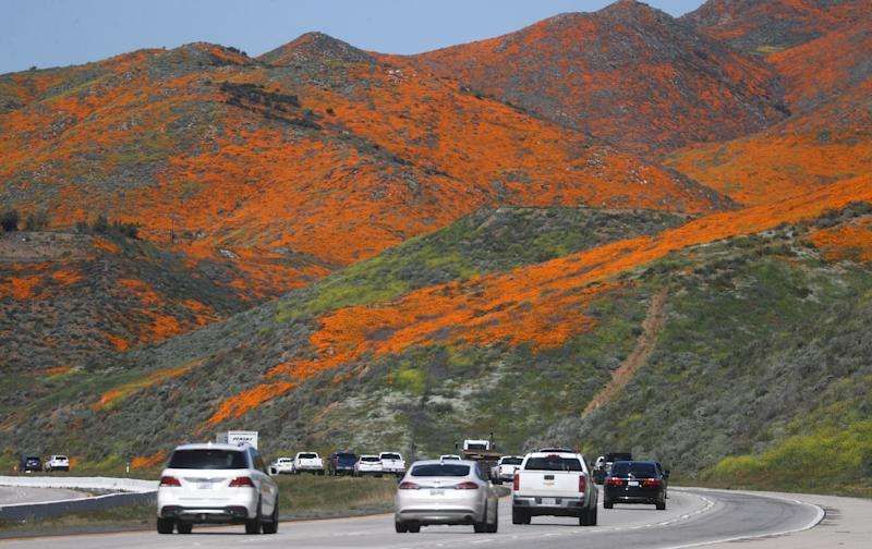 Cars travel on I-15 as a super bloom of wild poppies blankets the hills of Walker Canyon near Lake Elsinore, California.