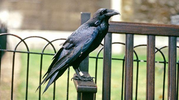 PHOTO: A raven is pictured at the Tower of London in London. (Hoberman Collection/Universal Images Group via Getty Images)