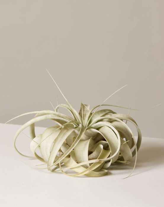 This xerographica air plant is characterized by its silvery gray leaves that form a rosette shape.