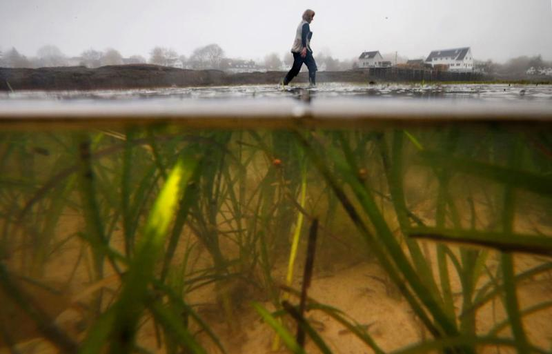 Eel grass grows in sediment at Lowell's Cove, Maine, US. The rise of sea level has ruined this once rocky location.