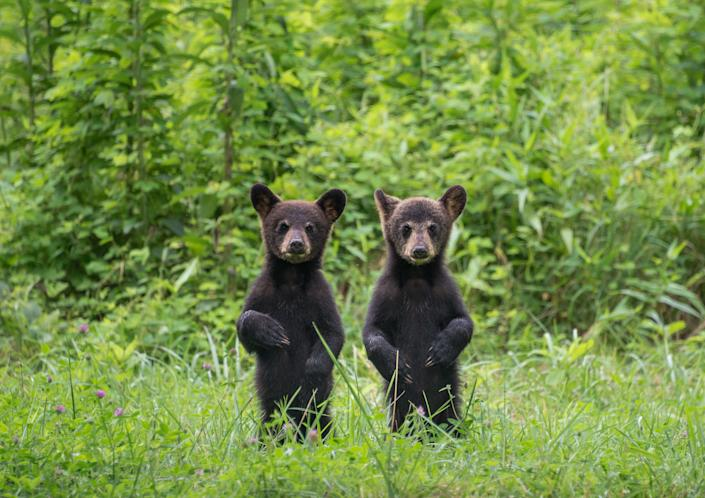 Two black bear cubs strike a pose for the camera in the Smoky Mountains.