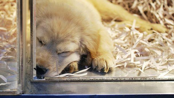 PHOTO: A puppy in pet shop window. (STOCK PHOTO/Getty Images)
