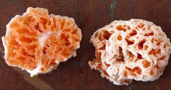 "A funky new mushroom species ""lives in the rain forest, under a tree,"" and researchers say it's nearly as strange as its SpongeBob SquarePants namesake. Shaped like a sea sponge, the bright orange (and sometimes purple) mushroom, <em>Spongiform"