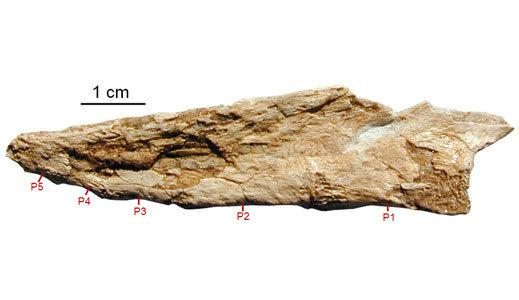A series of five fused bones at the end of the tail of the oviraptor Nomingia.